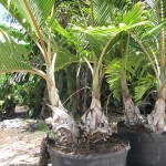 Bottle Palm Double