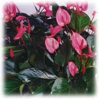 Anthurium Red Hots and White Dots