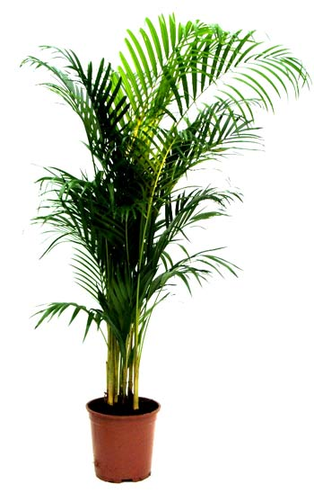 Areca Palm! New!
