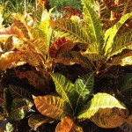 Croton Super California