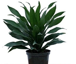 Dracaena - Green Jewel