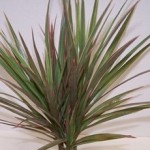 Dracaena - Bi-Color  -