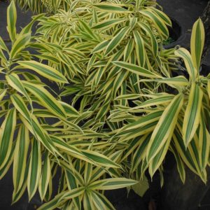 Dracaena -Reflexa Song of India NEW!