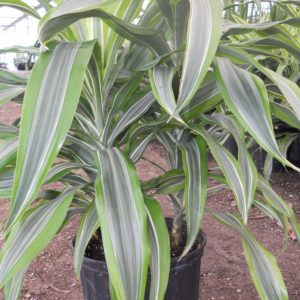 Dracaena - Warneckii  Lemon/Lime