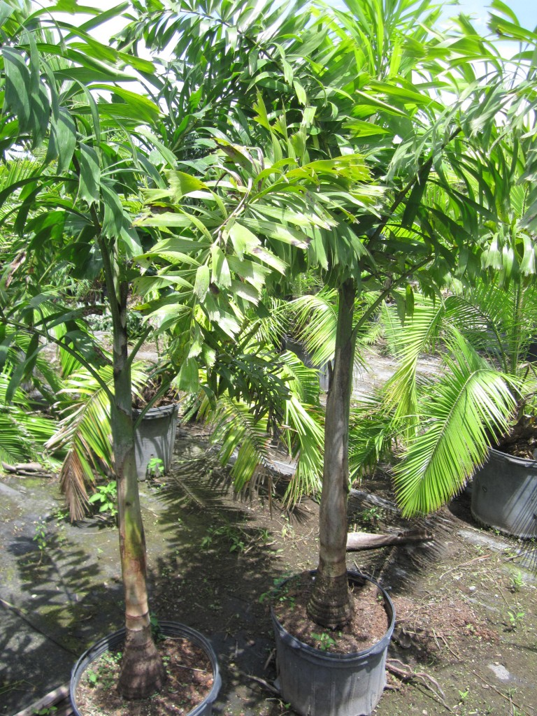 Foxtail Palm 1ppp