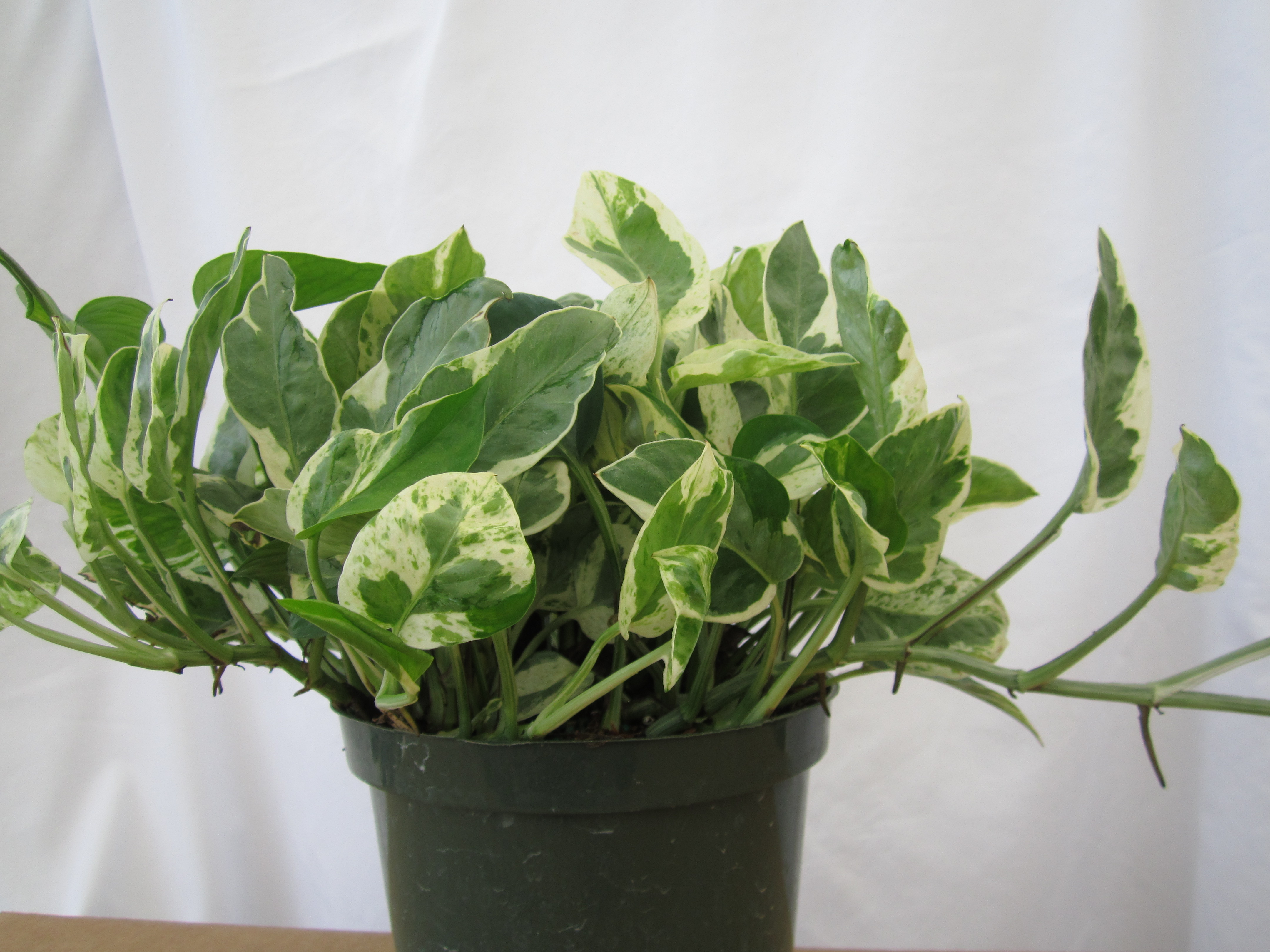 Golden Pothos Shop Quart Golden Pothos Ltl At Lowescom