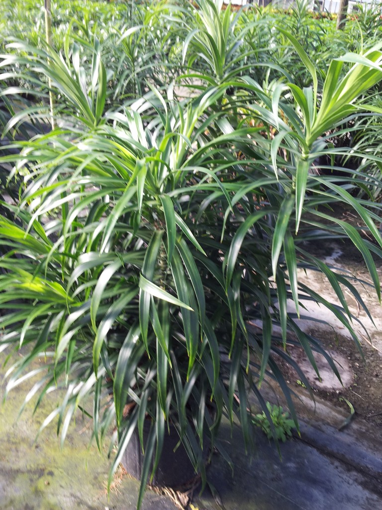 Dracaena -Medusa Bush New!