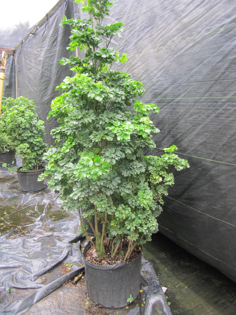 Aralia Stump Parsley