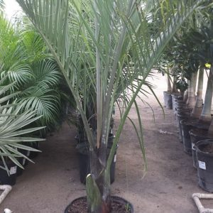 Triangle Palm