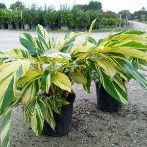 Variegated Shell Ginger 10' pot