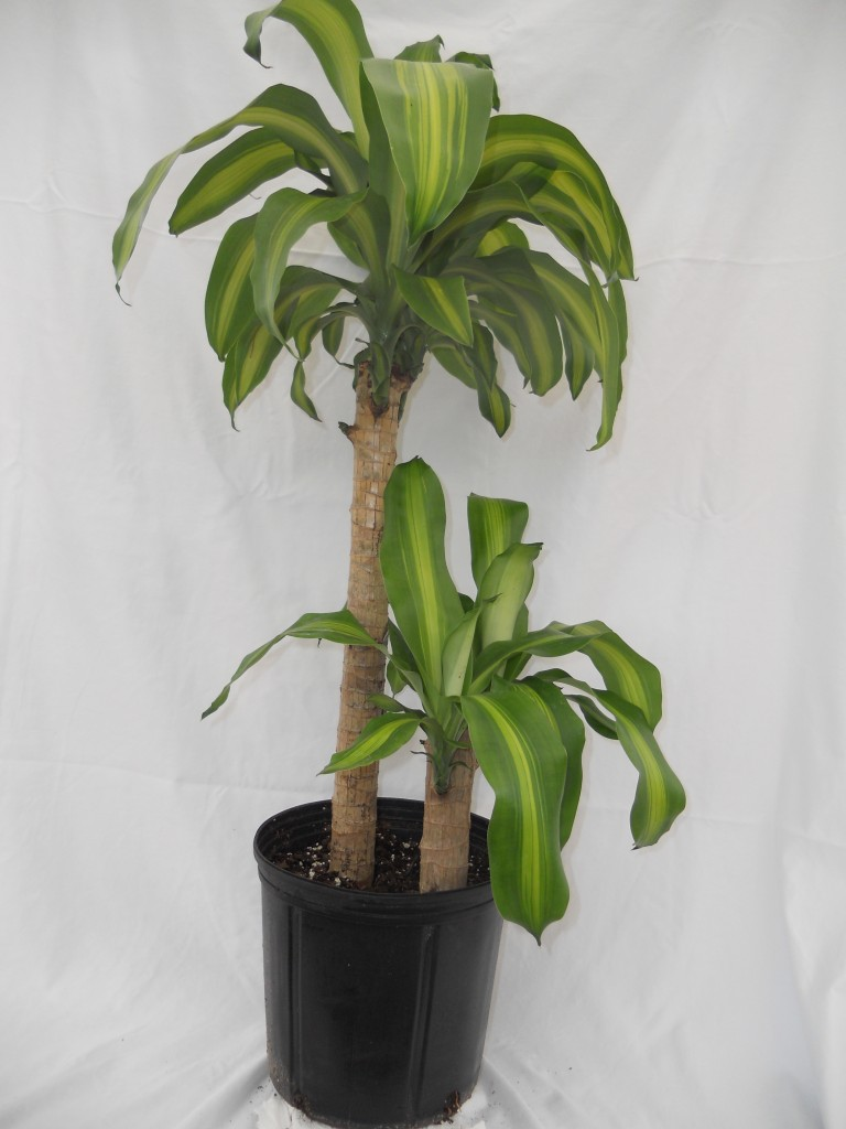m-cane-2pp-10inch-768x10241 Indoor House Plant Philodendron on indoor ivy house plants, indoor house plant cactus, indoor house plant diseases, indoor climbing plants, indoor house plant palm, indoor house plant fern,