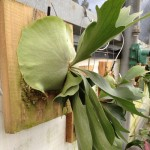 Staghorn  Fern Plaque