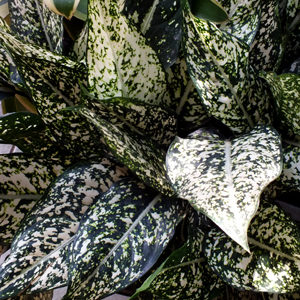 Aglaonema Gold Dust