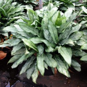 Aglaonema Jewel of India