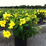 Allamanda Golden Butterfly