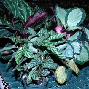 Calathea Assorted