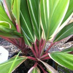 Cordyline Pink Diamond