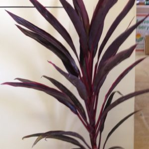 Cordyline hot pepper 1ppp