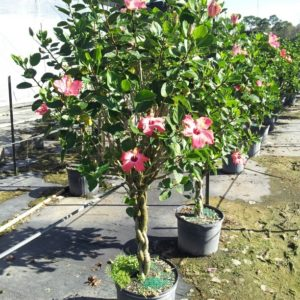 Hibiscus Pink braided 14 inch