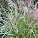 Sky Rocket Fountain Grass