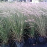 pennisetum-setaceum-alba-fountain-grass-white-