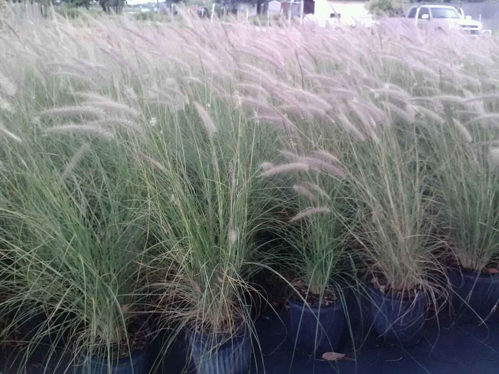 Miami tropical plants tropical plant company in miami for White ornamental grass