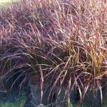 pennisetum-setaceum-cupreum-fountain-grass-red-