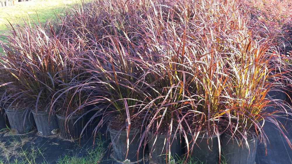 Miami tropical plants tropical plant company in miami for Red and green ornamental grass