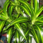 Dracaena Hawaiin Sunshine