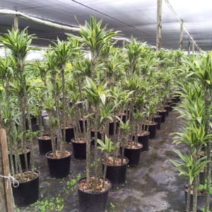 Dracaena Warn Lemon Lime Cane 14 inch