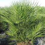 European Fan Palm 3 14 inch