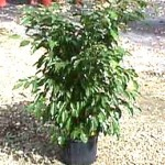 Ficus Wintergreen Bush