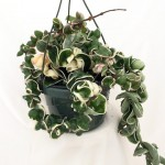 Hoya Variegated Hanging basket