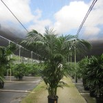 Kentia Palm 17 inch