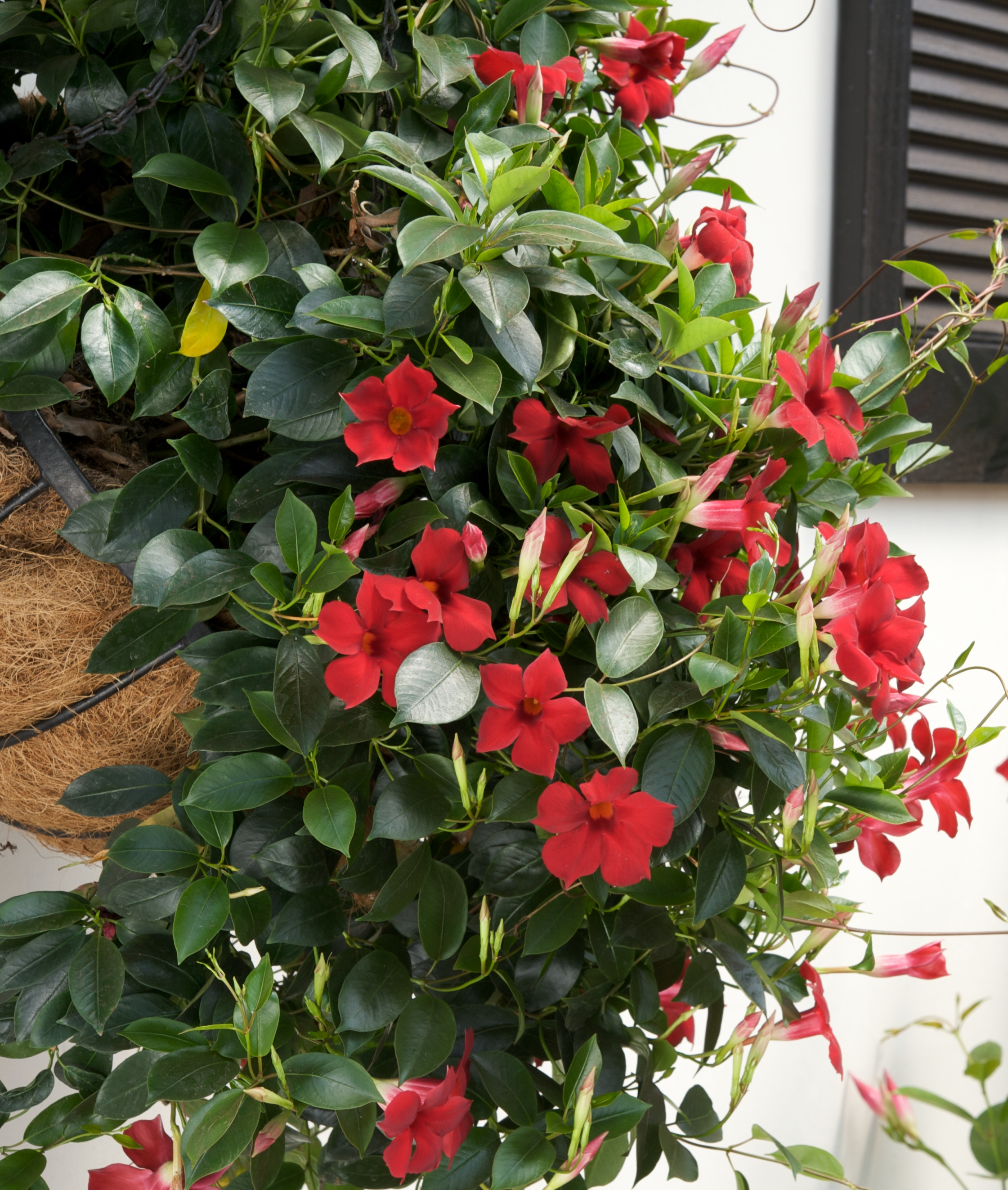 Picture of Live Mandevilla Crimson  aka Sun Parasol Pretty Crimson Mandevilla Plant Fit 1GAL Pot