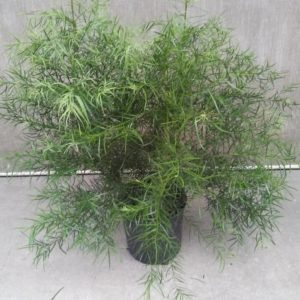 Podocarpus Grascilor bush