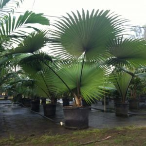 -White Elephant Palm - kerriodoxa-elegans