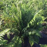 macho-fern-nephrolepis-falcata-macho-