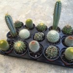 4 inch Cactus assortment