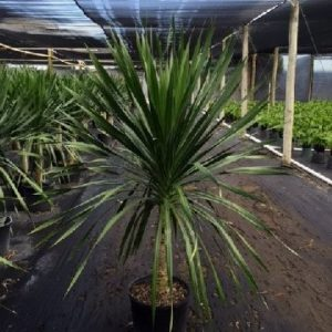 Dracaena Arborea Single 14 inch pot