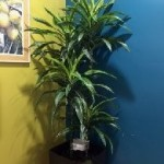 Dracaena Gold Star Staggered 12 inch