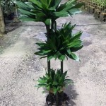 Dracaena Green Jewel Cane 321