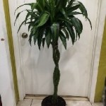 Dracaena Hawaiian Sunshine Braid 10 inch