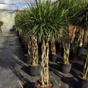 Dracaena Marginata Open Weave Braid 14 inch