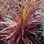 dracaena-colorama-tips-2