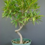 ficus-nerifolia-coiled-bonsai