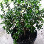 funkien-tea-bonsai