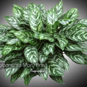 aglaonema_mary_ann_