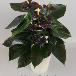 anthurium-x-black-queen-anthurium-black-queen-1000248489-1362508628