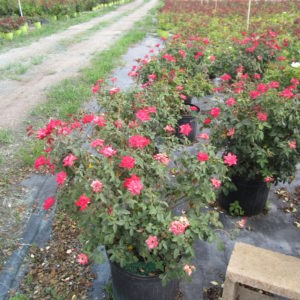 knockout-rose-bush-7-gal-double-red